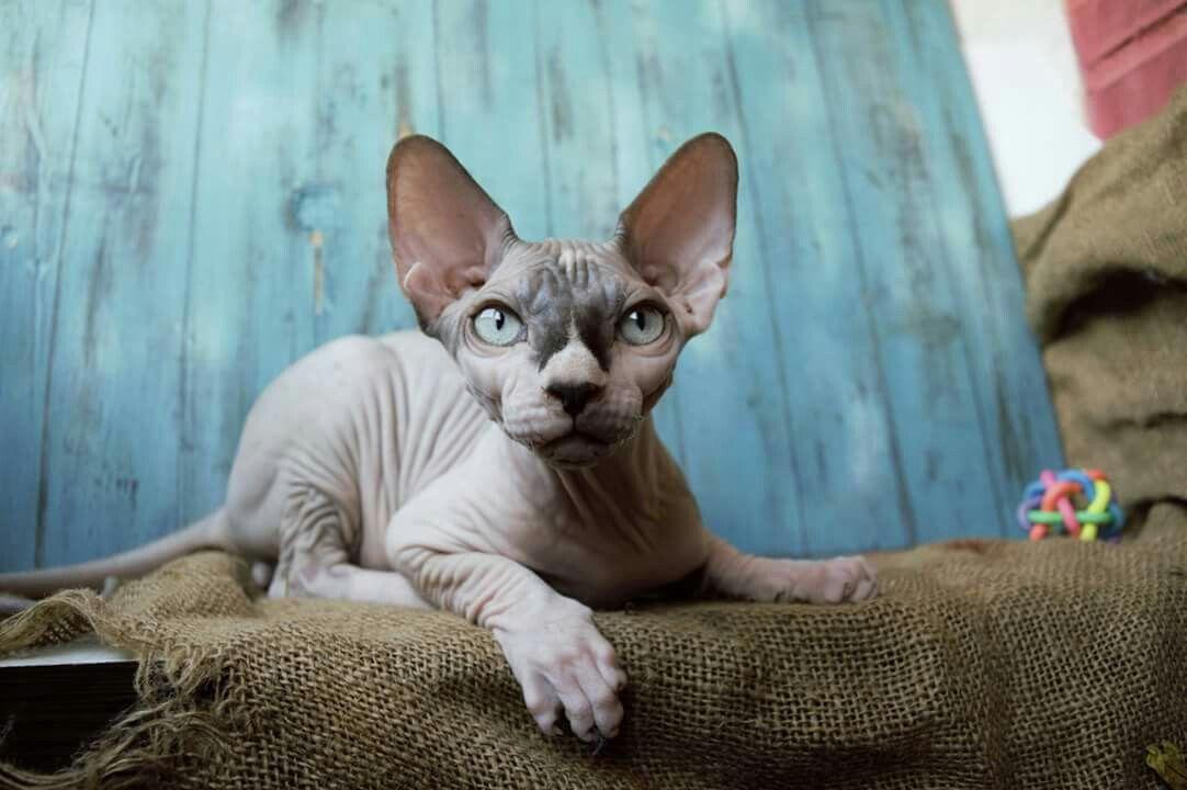 Gato Esfinge ( Sphynx )