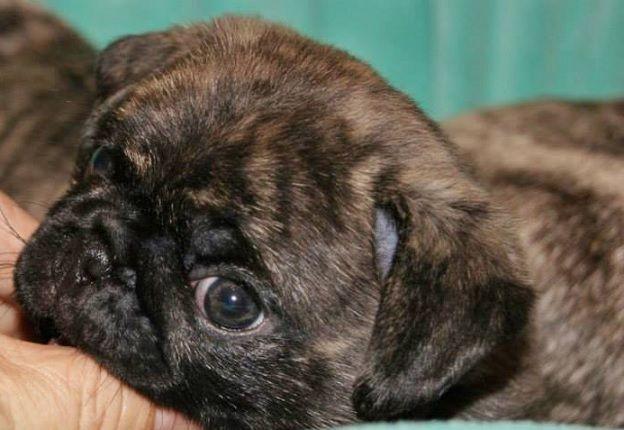 Cute Brindle Pug Puppy Pug Puppies Baby Pugs Brindle Pug