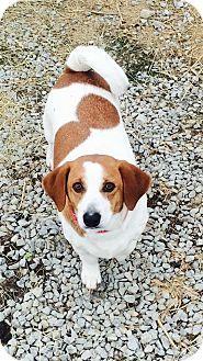 Columbus Oh Corgi Beagle Mix Meet Peaches A Dog For Adoption Corgi Corgi Beagle Mix Dog Adoption