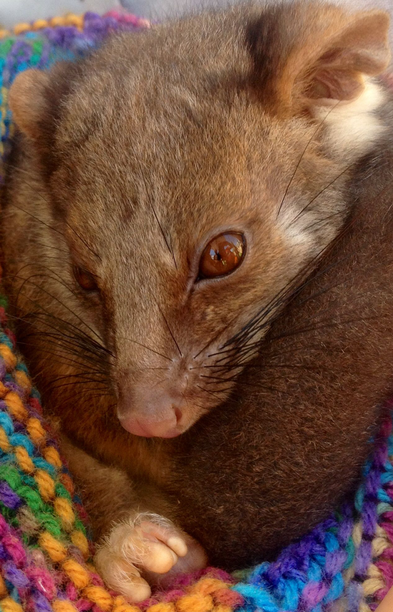 An eight month old ring tail possum! Australian animals
