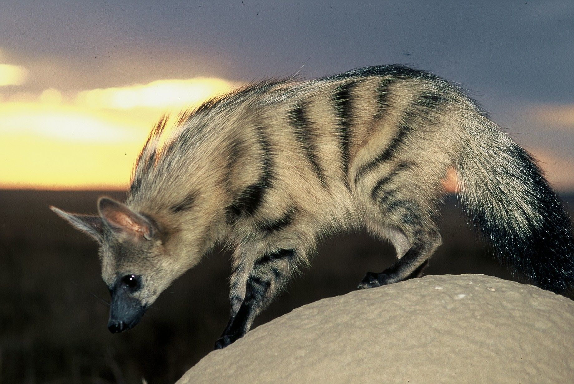 Aardwolf the smallest and shyest of the four hyena