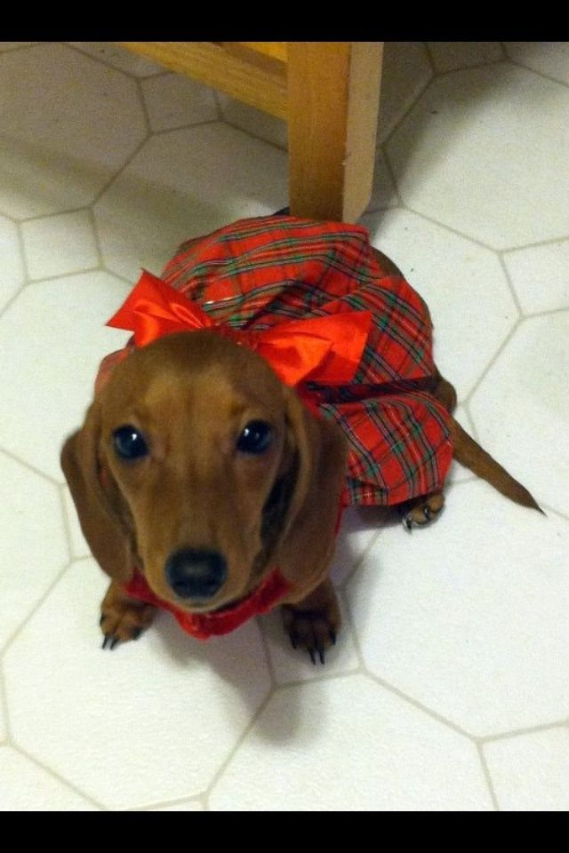 Pretty Dachshund Girl In Her Sunday Best Dogs Dressed Dachshunds