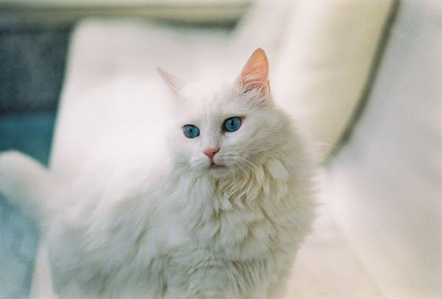 000038 Pretty Cats Cat With Blue Eyes Gorgeous Cats