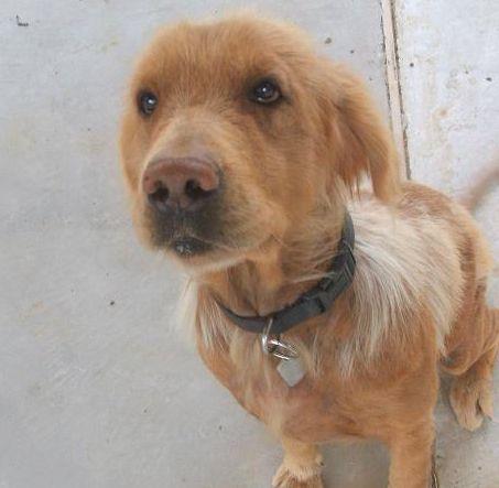 Pippen 09 089 F Golden Retriever Rescue Of North Texas Grrnt Golden Retriever Golden Retriever Rescue Golden Retriever Breed