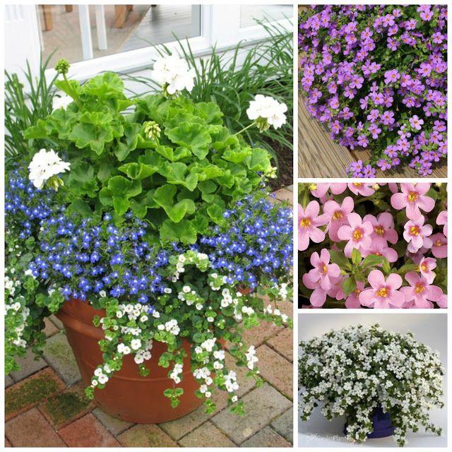 Jakie Kwiaty Posadzic W Maju By Kwitly Do Poznej Jesieni Czyli Kwiaty Na Balkon I Taras Naj Patio Container Gardening Container Gardening Garden Containers