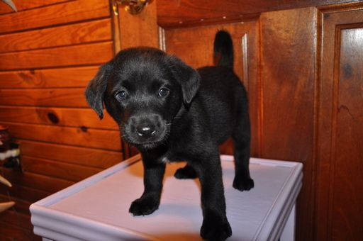 Labrador Retriever Mix Puppies