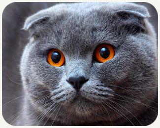 The Scottish Fold Highland Fold Cat The Scottish Fold Is A