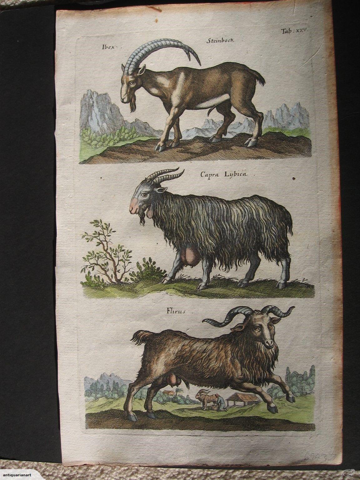 Goats ibex 1600s original trade me ibex goats the