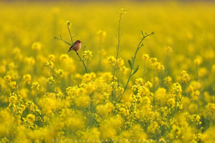 mustard.. by Atif Saeed - Photo 135552405 / 500px