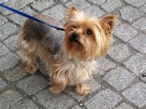 Yorkie Dogs Full Grown How much does a full grown yorkie