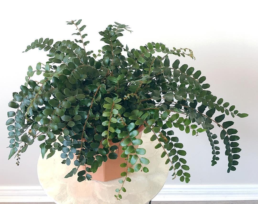 Pellaea Rotundifolia Button Fern I Love Button Ferns Plants