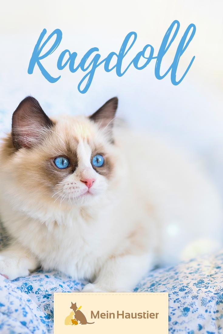Die Ragdoll Ist Eine Langhaarige Katzenrasse Aus Den Usa Mit Einer Markanten Fellzeichung Ich Verrate Euch Was Die Sanftmut Katzen Rassen Katzenrassen Katzen