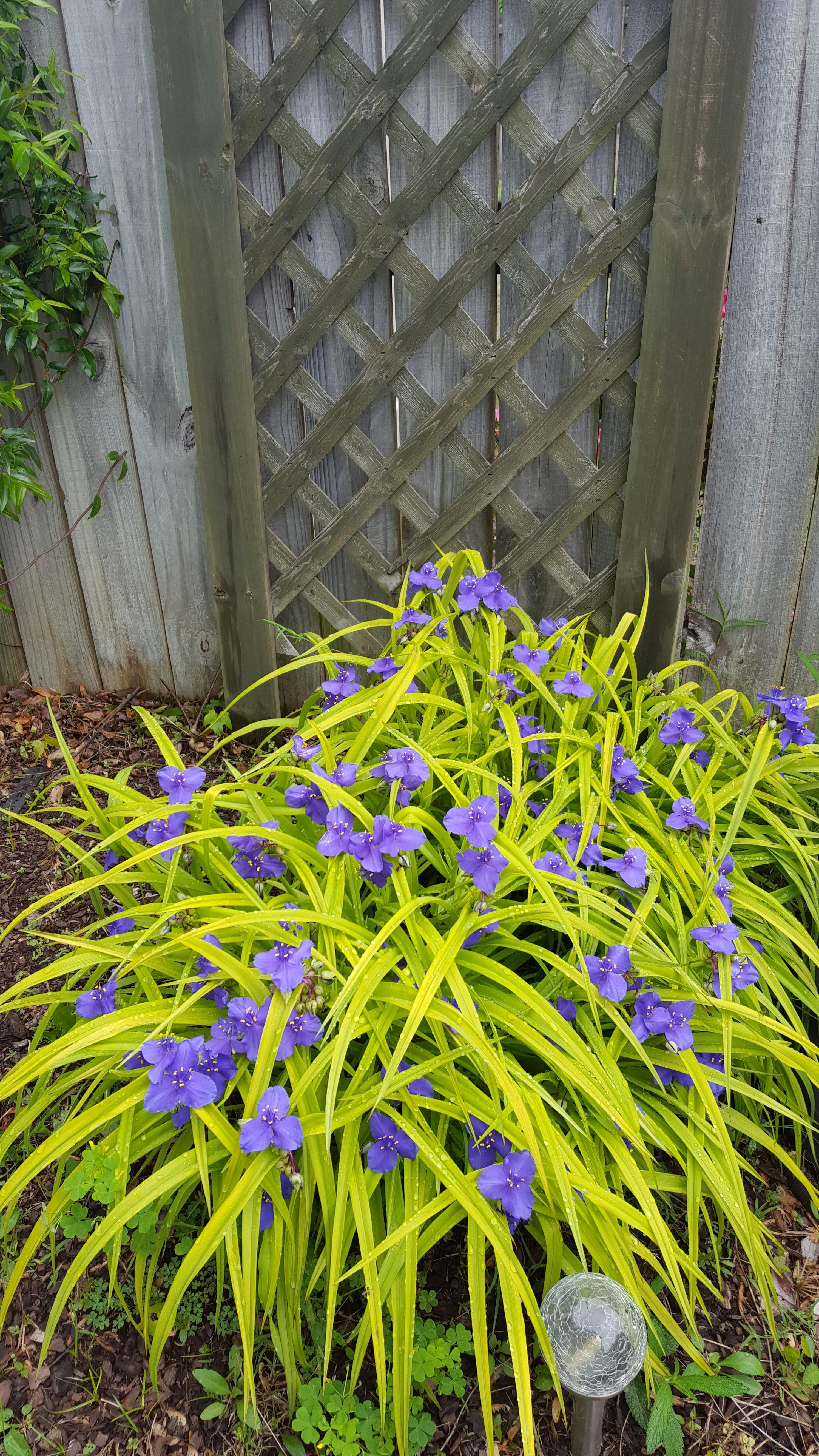 Need help identifying this ornamental grass with purple flowers that need help identifying this ornamental grass with purple flowers that close after early morning workwithnaturefo