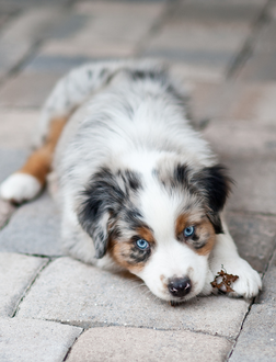 Facts About Australian Shepherds | Paws | Aussie dogs