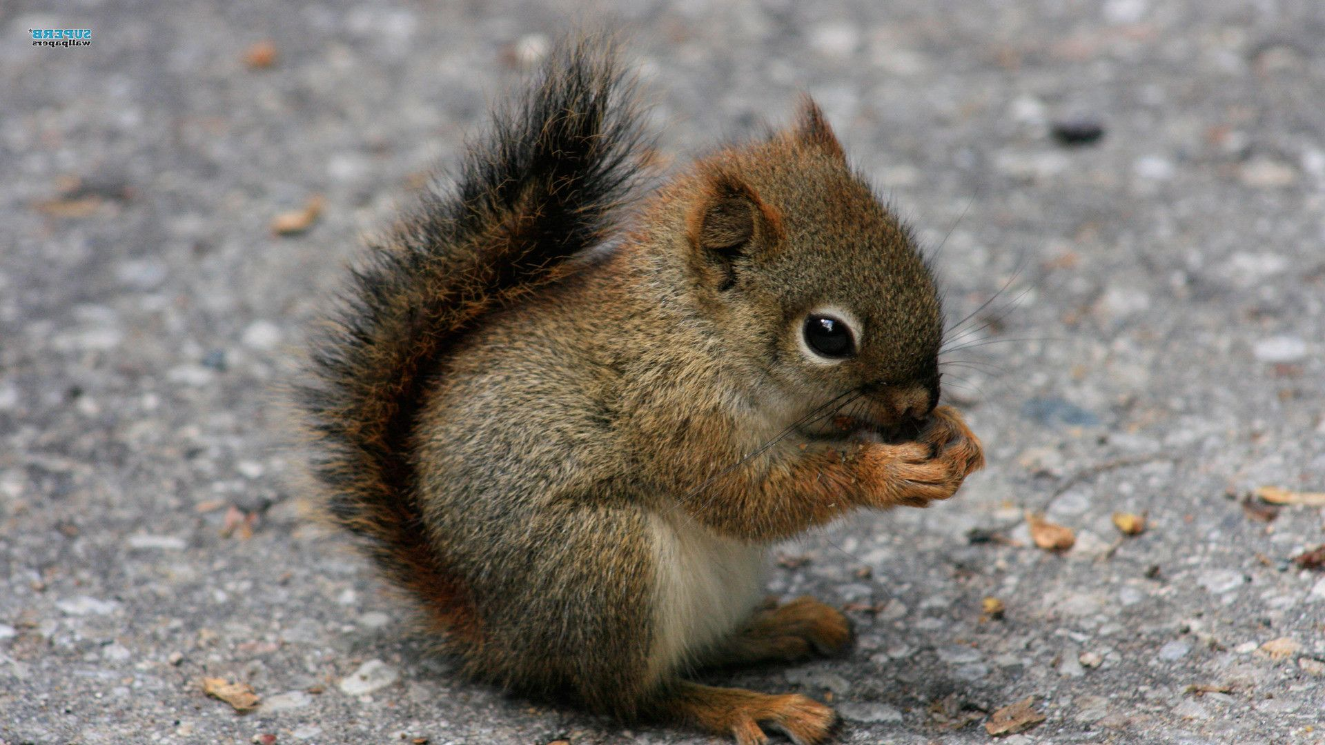 baby animals home animals cute squirrel baby animal hd wallpaper for beyond cuteness. Black Bedroom Furniture Sets. Home Design Ideas