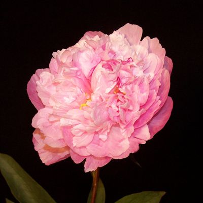 Peony light pink bouquets pinterest peony lights and flower peony light pink flower namespink mightylinksfo