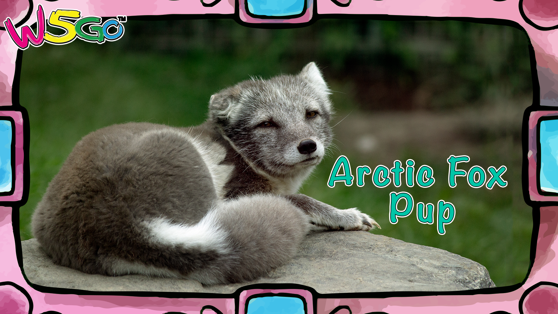 Animal Facts! Arctic Fox does not hibernate and their fur