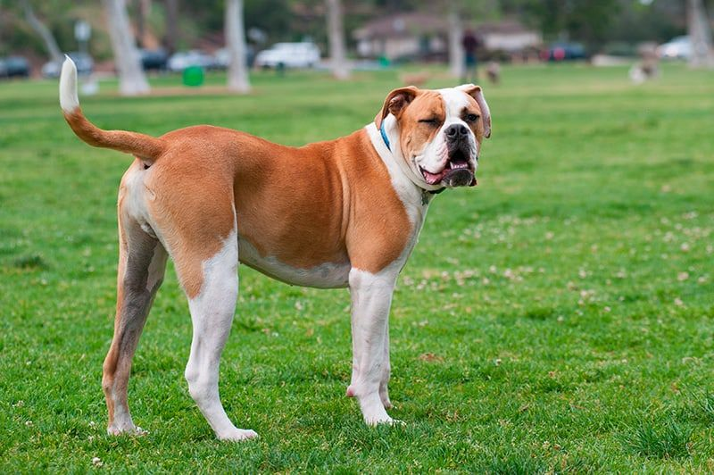 The 15 Worst Dog Breeds For New Pet Owners American Bulldog Dog