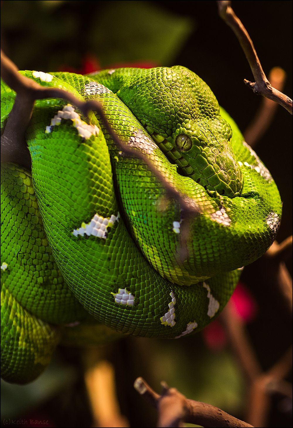 Emerald Tree Boa | ~REPTILE\'S~ | Pinterest | Boas, Creatures and ...