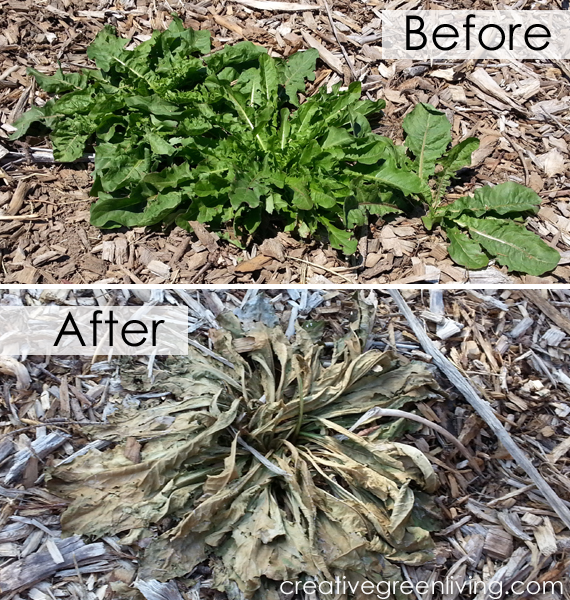 Nontoxic And Chemical Free Weed Killer That Actually Works Better Than Round Up