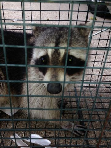 Six Tips To Avoid Animals In The Attic This Spring Animals Wildlife Removal Services