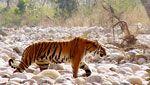 My first wild tiger sighting #corbettigerreserve #india #safari #mantrawild