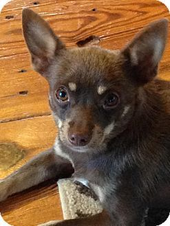 Pin by Renee Roper Hammett on Animals | Pet adoption, Chihuahuas for