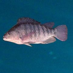Blue Tilapia Oreochromis Aureus Fingerlings For Sale