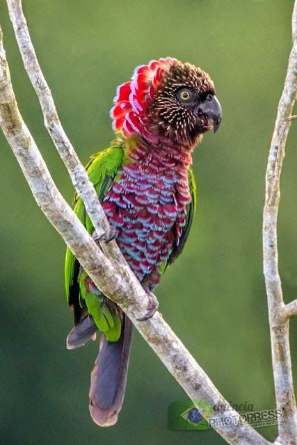 The Red-fan Parrot, aka the Hawk-headed Parrot, which hails