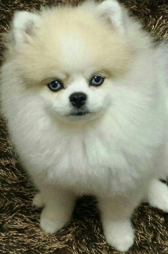 Beauty Blue Eyed White Pomeranian