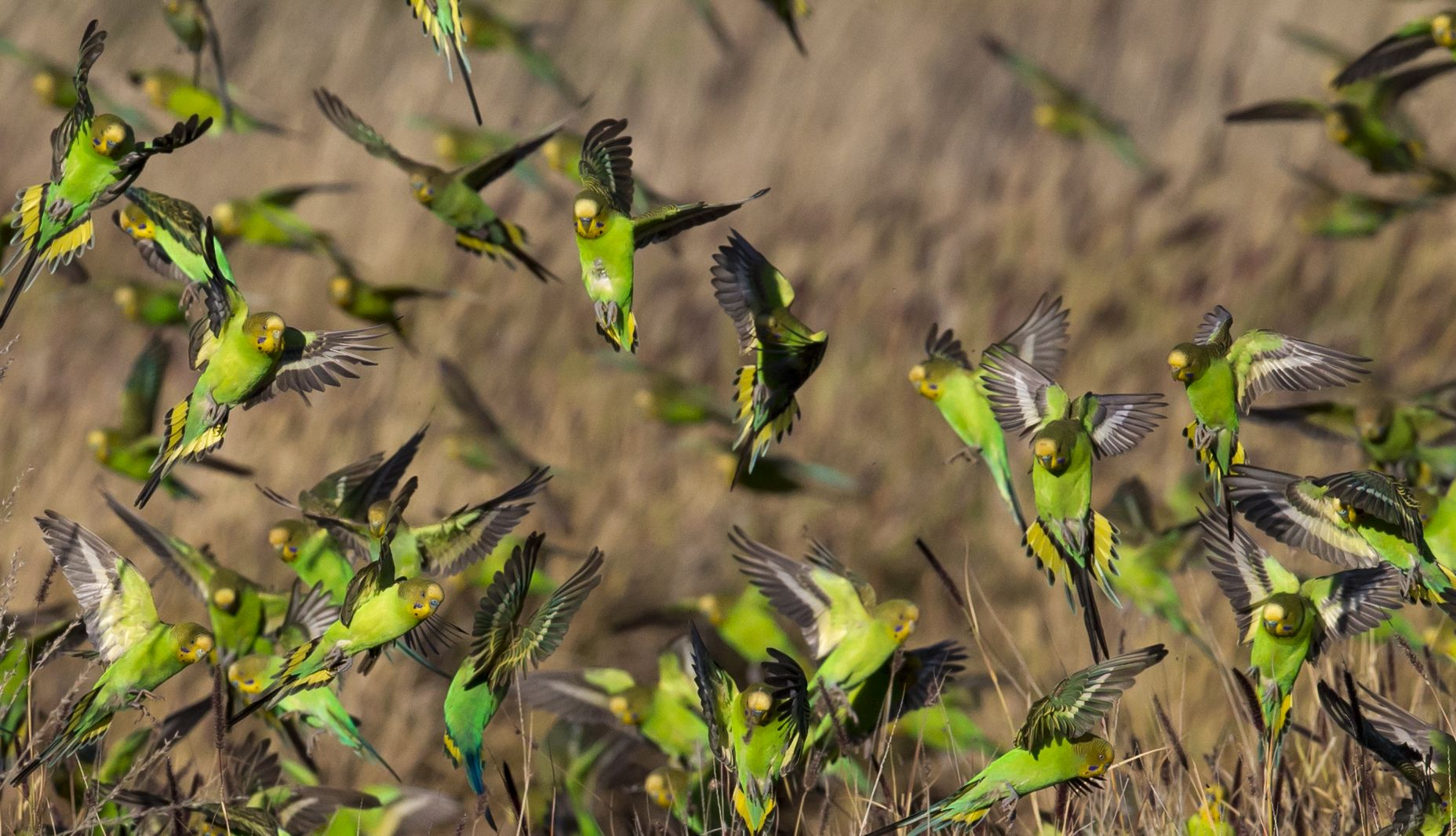 Wild budgies foraging in 2020 Australian animals list
