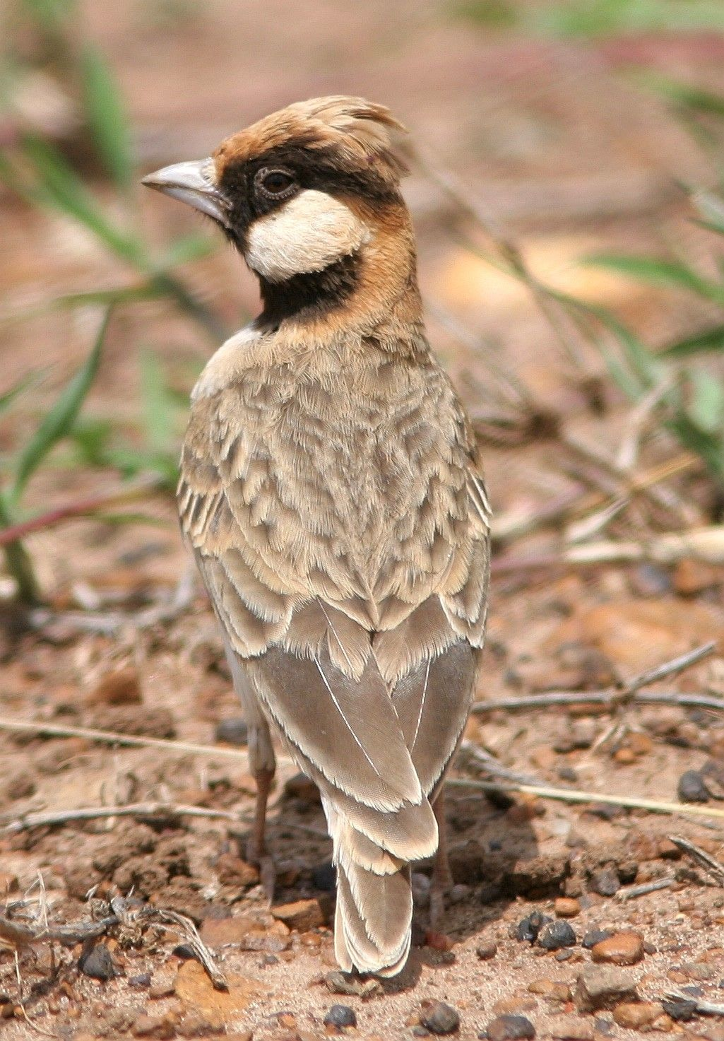 Fischer's Sparrow-Lark, Eremopterix leucopa-reia, is in the Lark family: Burundi, DR of the Congo, Kenya, Malawi, Tanzania, Uganda, Zambia. Its natural habitat is subtropical or tropical dry lowland grassland