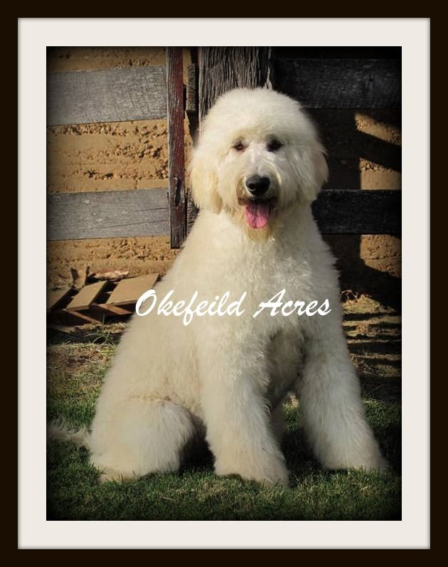 Mini And Standard Goldendoodle Dams Of Puppies For Sale In
