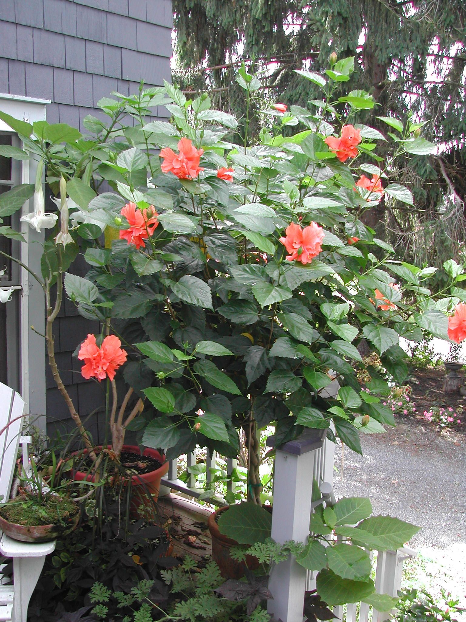 Double Apricot Hibiscus With Braided Trunk I Have Been