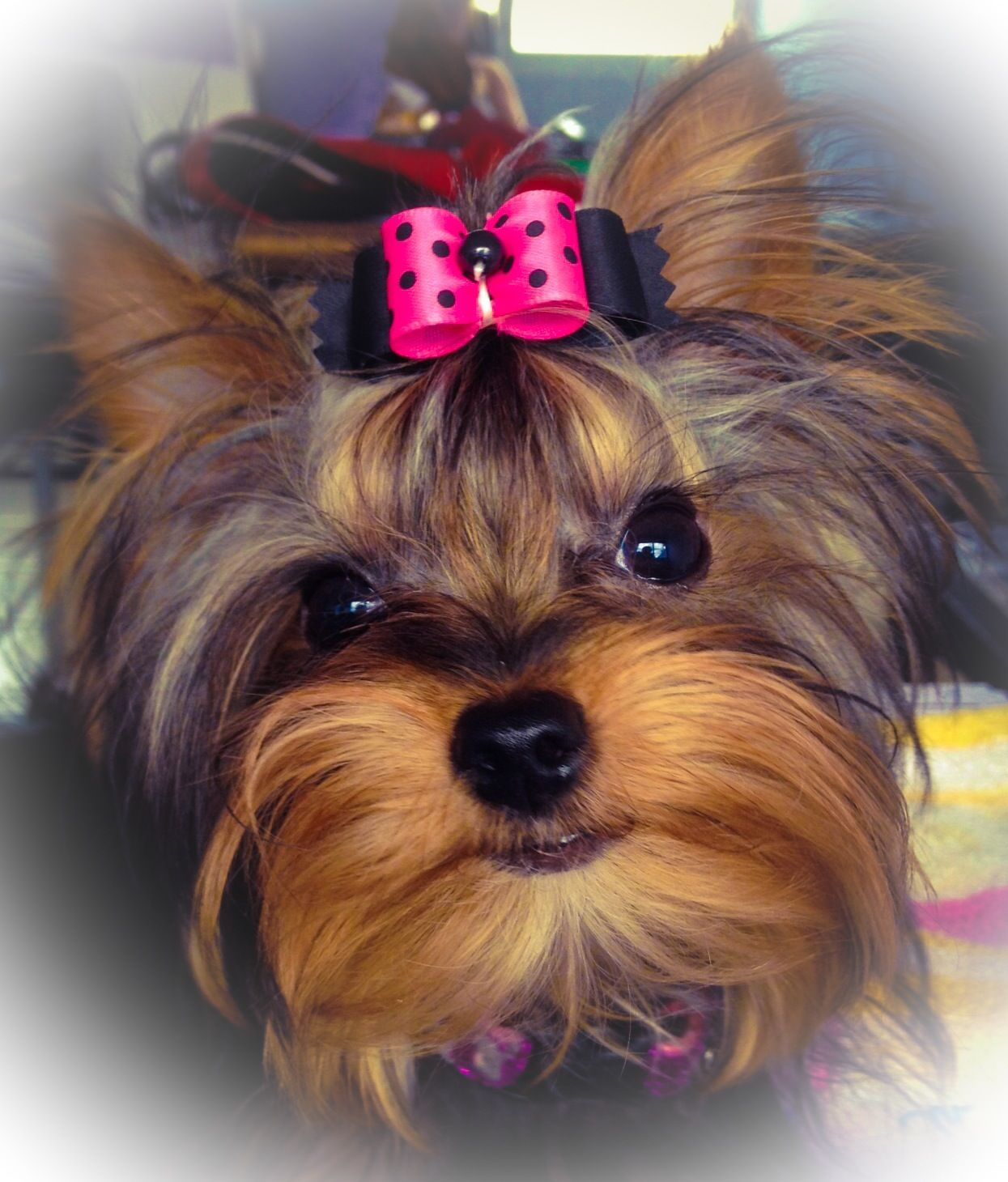 Female Yorkie With A Dog Show Hair Bow And A Dog Collar From