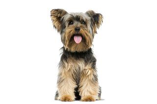 How To Stop Aggressive Behavior In My Yorkie Cuteness Yorkshire Terrier Dog Training Yorkshire Terrier Dog