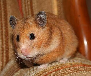 Hamsters And Their Genetic Variations Hamster Syrian Hamster Mammals