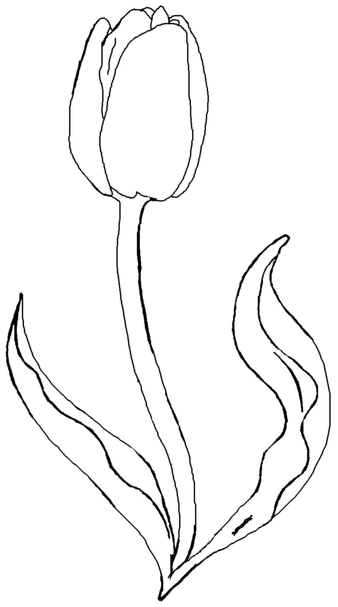 Tulip Flower Coloring Pages Free Printable Tulip Coloring Sketch