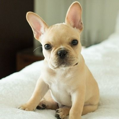 Pin By Betty Paredes On Cuteness Overload In 2020 French Bulldog Puppies Cute French Bulldog Bulldog Puppies