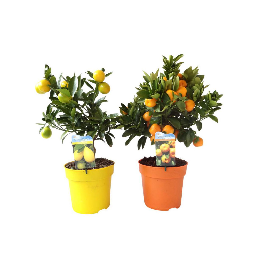 Cytrus Mix 45 50 Cm Kwiaty Doniczkowe W Atrakcyjnej Cenie W Sklepach Leroy Merlin Planters Planter Pots Pot
