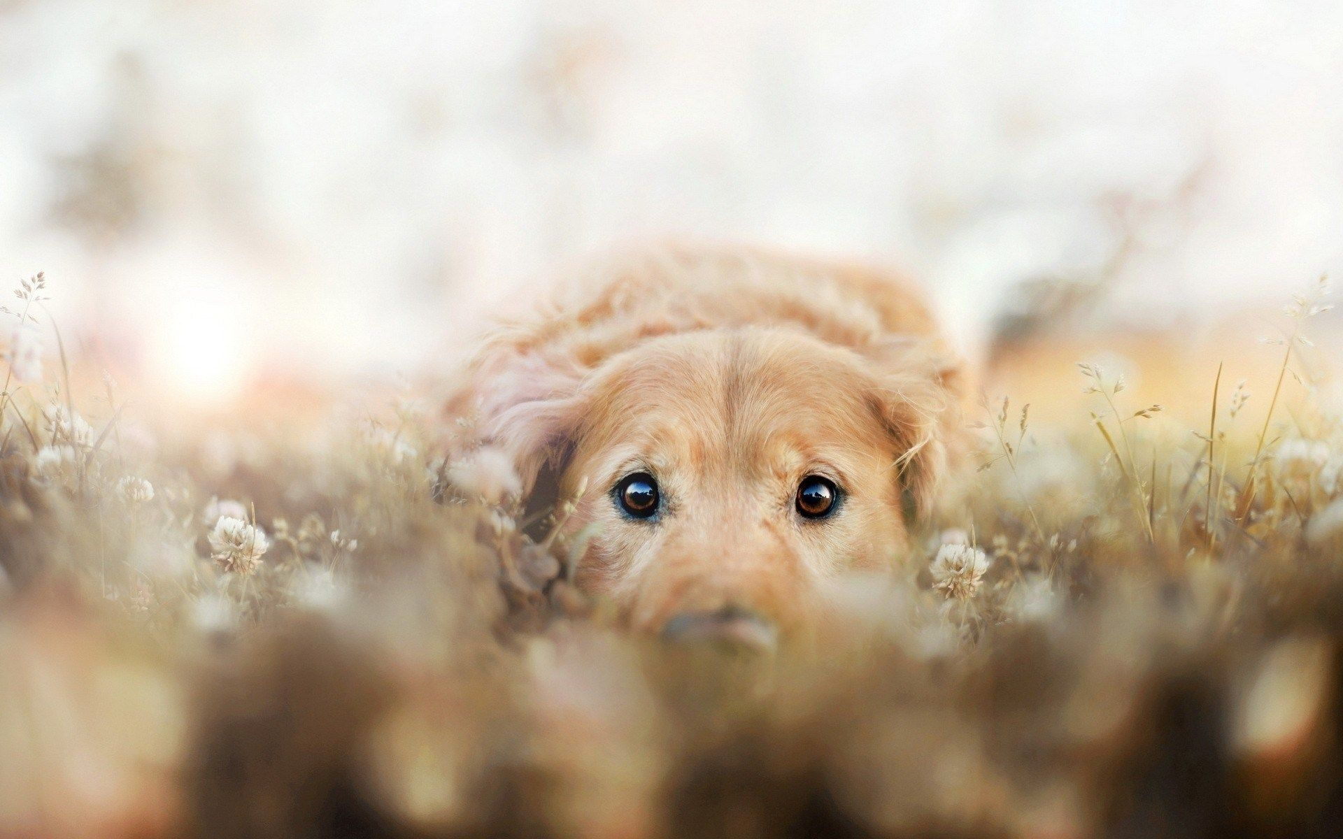 Image For Golden Retriever Sitting On The Prowl In Flowers Wide Hd