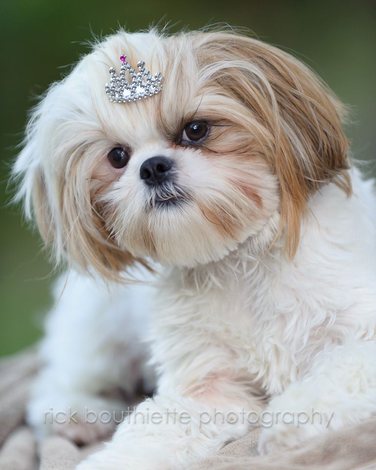 Lucie And Her Tiara Shih Tzu Doggie Style Shih Tzu Puppy
