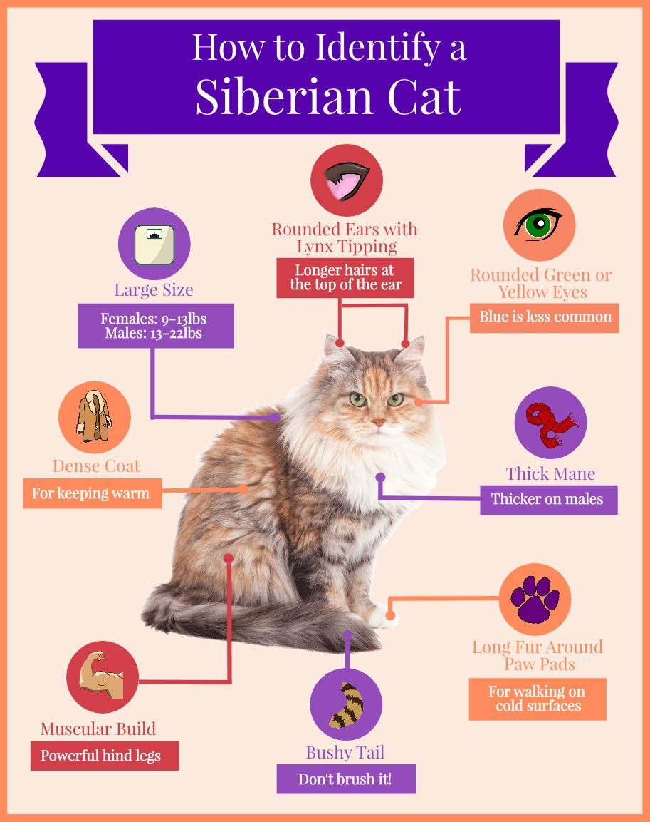 How To Identify A Siberian Cat Infographic Siberian Cats Siberian Cat Cat Infographic Cats