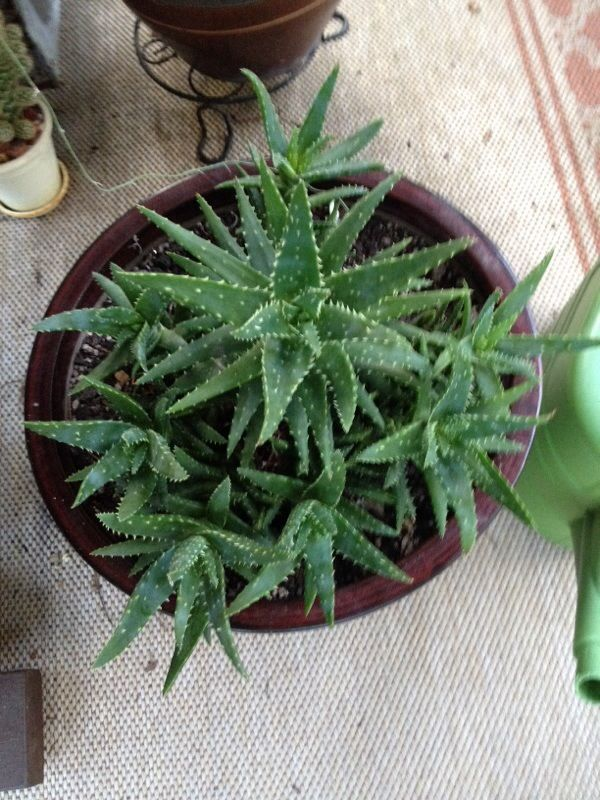 Free Plant Identification Succulents, Plants, Gold teeth