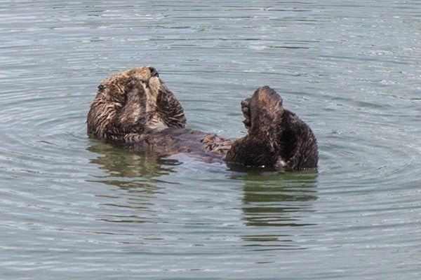 Sea otter scrubs up - January 1, 2016