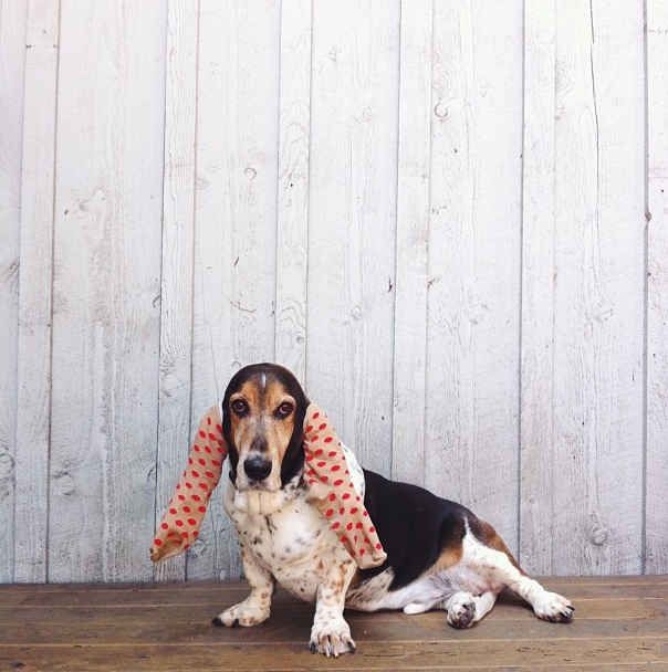 He's such an amazing model, he can even pull off these ear socks.   Meet Mowgli, The Fiercest Basset On Instagram