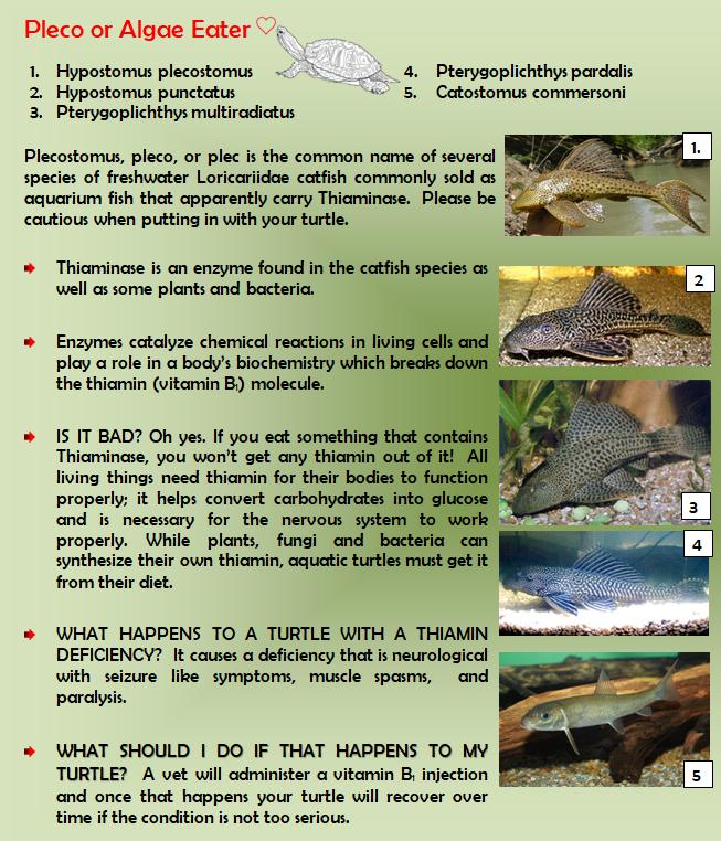 Cautions Of Plecos Or Algae Eaters In Turtle Aquarium