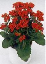 Kalanchoe: Growing conditions	Watering and misting	Propagation  Average warmth in summer - minimum 60 F in winter.Brightly lit spot. Keep well away from direct sunlight.	Keep compost moist at all times but never waterlogged. Reduce watering in winter. Use soft, tepid water. Misting is not necessary.	Take stem cuttings in spring.