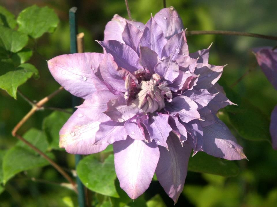 Clematis 'Vyvyan Pennell' - in the Moongarden, UK