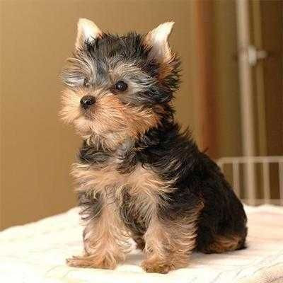 Dogs Puppies For Sale Classifieds In West Virginia Yorkie Puppies Husky Puppies Teacup Yorkie Puppy Yorkshire Puppies Yorkie Dogs